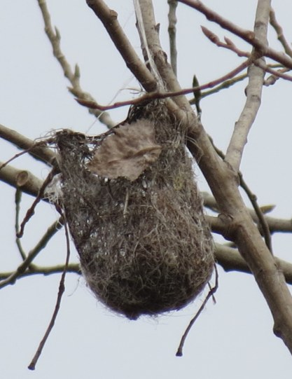Baltimore Oriole nest 11-8-2018 2-40-54 PM