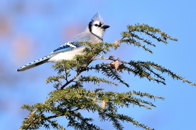 blue jay 11-14-2018 9-29-30 AM