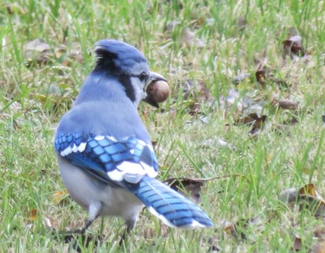 bluejay 11-8-2018 3-51-25 PM