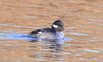 bufflehead 11-14-2018 10-24-10 AM