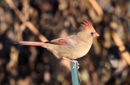 cardinal 11-14-2018 9-44-03 AM