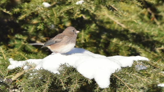 dark eyed junco 11-14-2018 9-30-50 AM