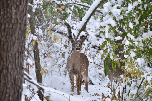 deer 11-10-2018 3-29-02 PM