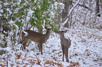 deer 11-10-2018 3-31-39 PM