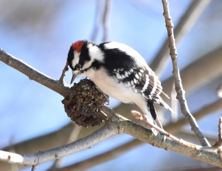 downy woodpecker 11-14-2018 11-25-17 AM