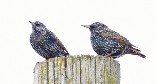 European starling, non breeding adult 11-11-2018 8-53-06 AM