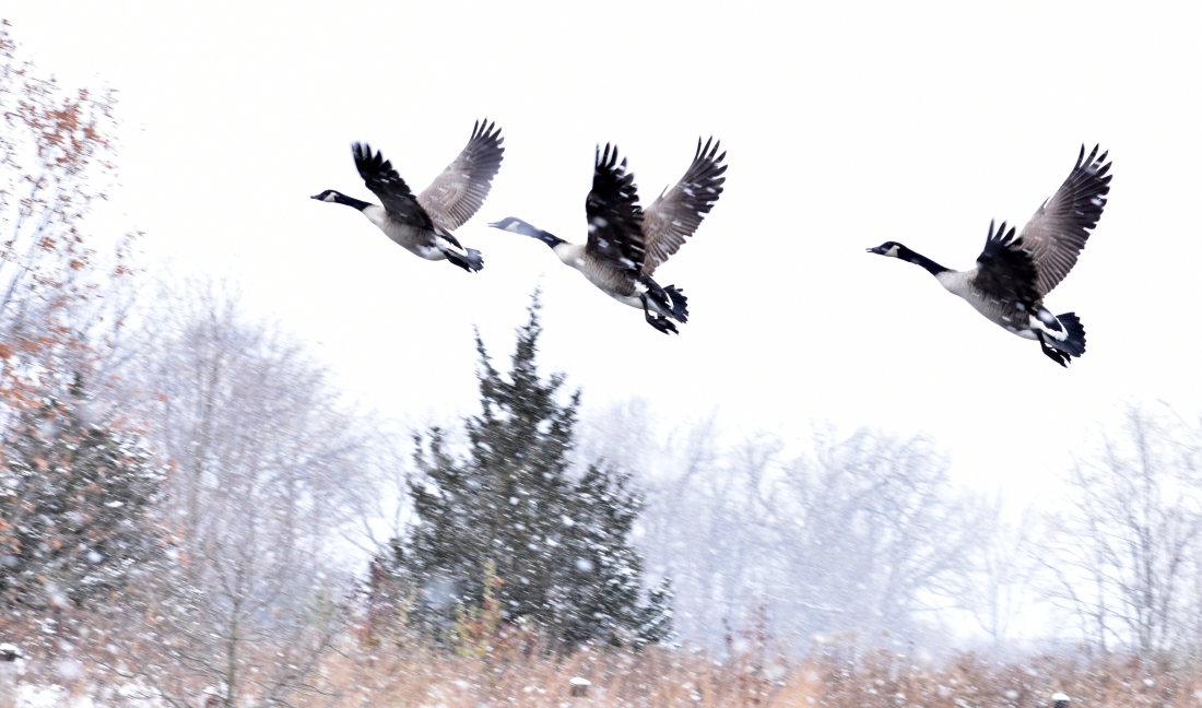 geese 11-13-2018 3-15-41 PM