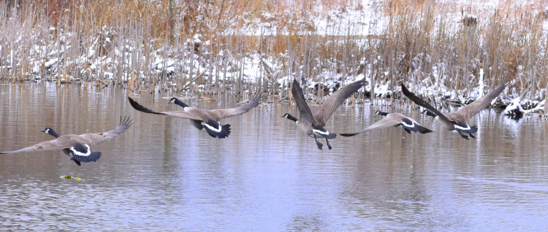 geese 11-13-2018 3-17-51 PM