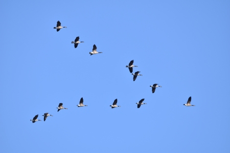 geese in formation 11-14-2018 9-33-54 AM