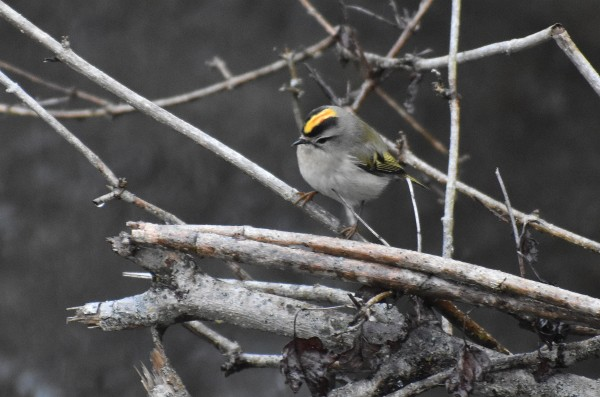golden crowned kinglet 11-9-2018 10-31-051