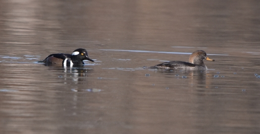 hooded mergansers 11-14-2018 12-22-59 PM