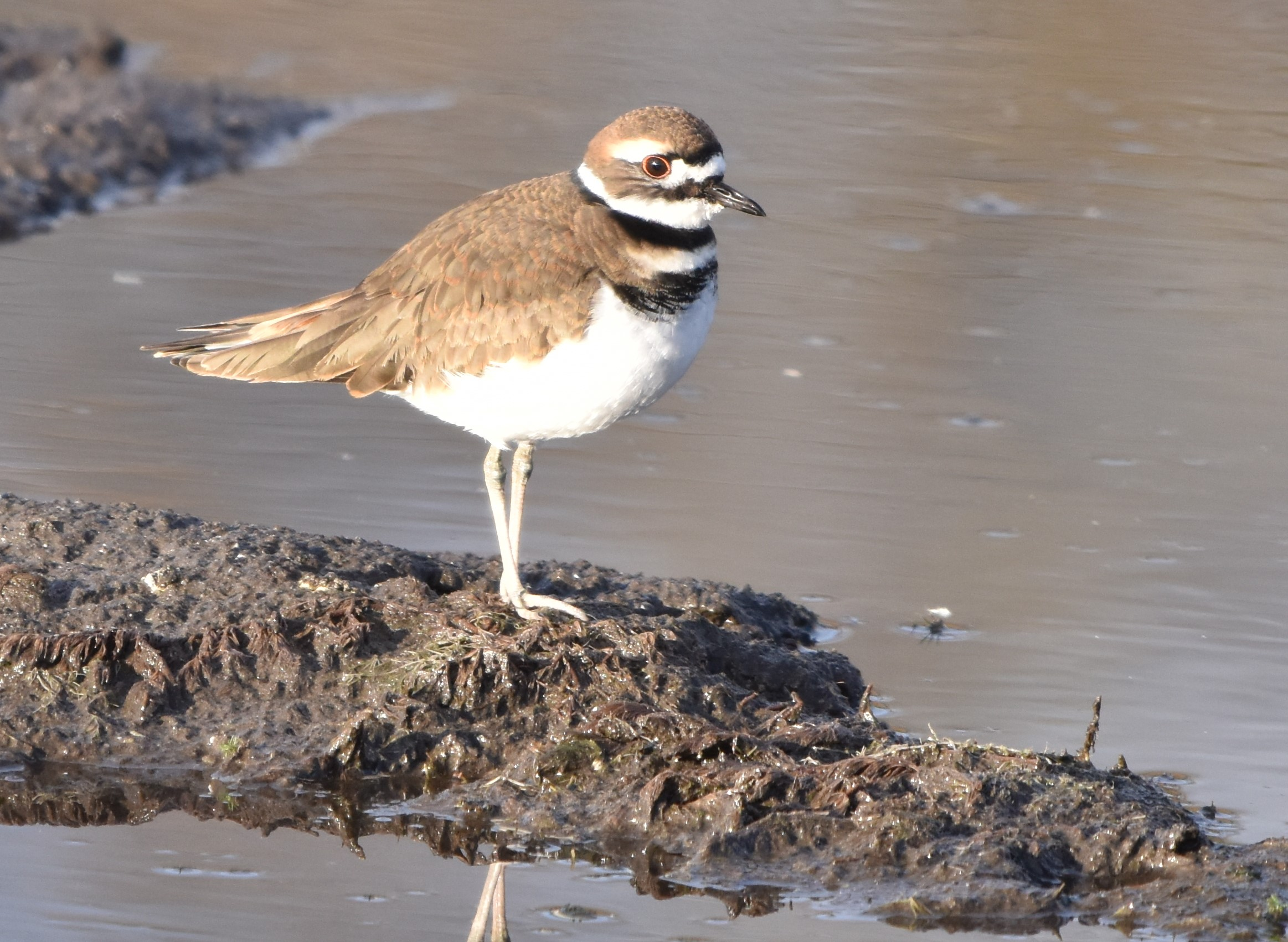 killdeer 11-2-2018 8-38-22 AM (2)