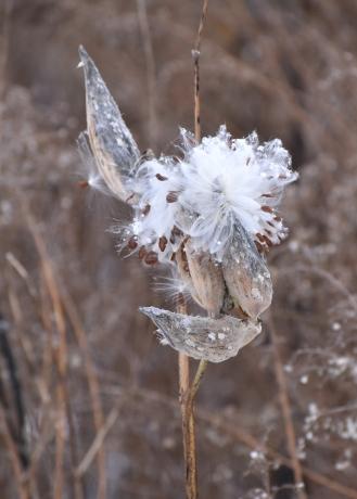 milkweed 11-13-2018 3-41-14 PM