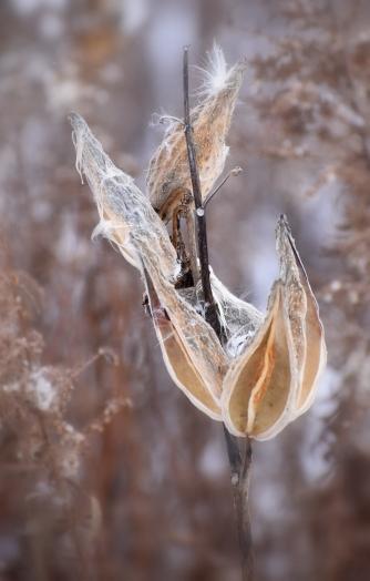 milkweed 11-13-2018 3-42-49 PM