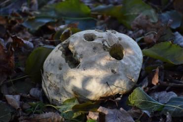 puffball skull