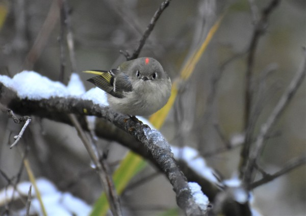 RUBY CROWNED KINGLET 11-9-2018 10-34-30 AM