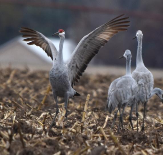 sandhill cranes 11-7-2018 3-58-39 PM