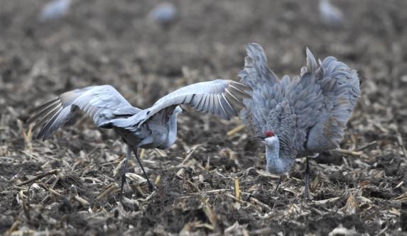 sandhill cranes 11-7-2018 4-22-32 PM
