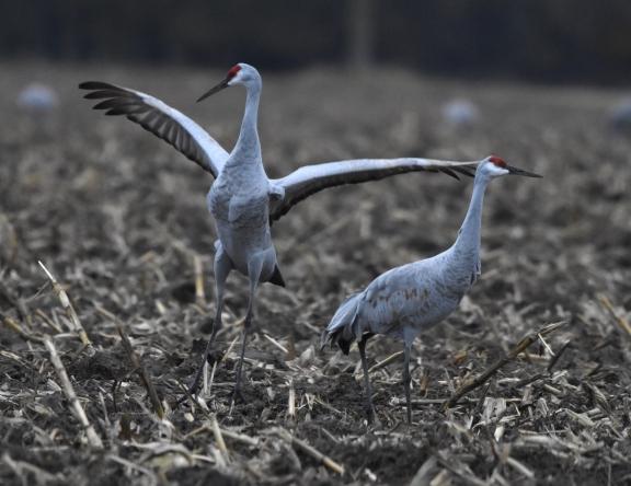 sandhill cranes 11-7-2018 4-23-53 PM