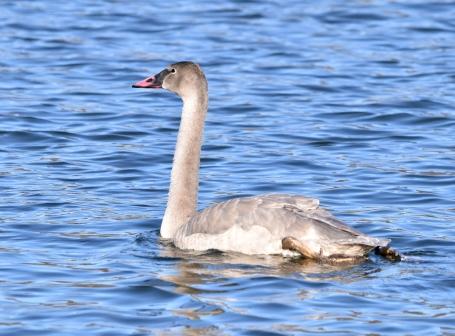 trumpeter swan 11-14-2018 10-17-35 AM