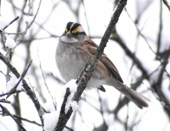 white throated sparrow 11-9-2018 9-51-56 AM